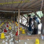 Manfaat daun Pepaya untuk ayam pedaging