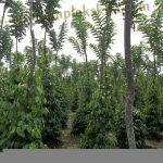 multifungsi glirisidae untuk tajar hidup tanaman lada