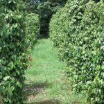 tanaman merica merupakan salah satu komoditas pertanian Indonesia