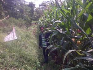 jagung manis dengan teknologi mmc satu biji tumbuh 2 sd 3 anakan dan tiap pohon berbuah 2 tongkol