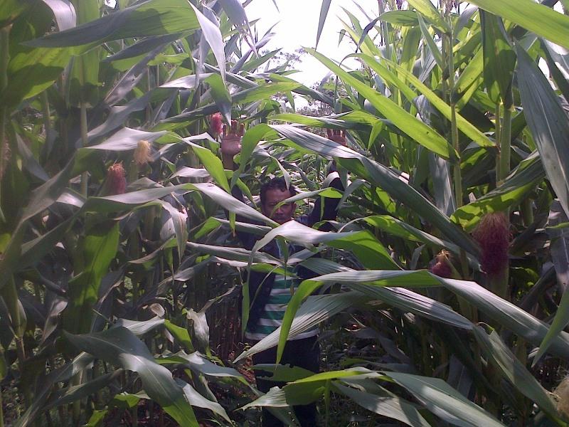 budidaya jagung hibrida