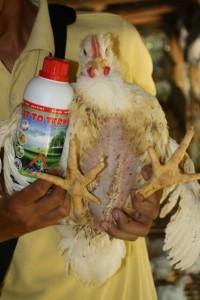 ayam vittoterna, berbobot, lemak sedikit, daging kenyal dan antap