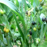 Hanjeli, Solusi pangan alternatif dan prospektif