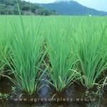 Kombinasi pupuk ala petani padi batuampar guna meningkatkan produktivitas padi