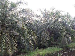 budidaya kelapa sawit, sawit, pekebunan sawit