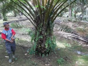 Cara pemupukan pupuk organik Mosa Gold MMC; ditebarkan mengitari tanaman sawit