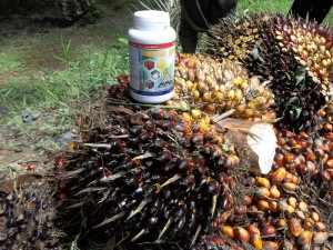 Penggunaan pupuk organik Mosa Gold mampu meningkatkan produksi kelapa sawit