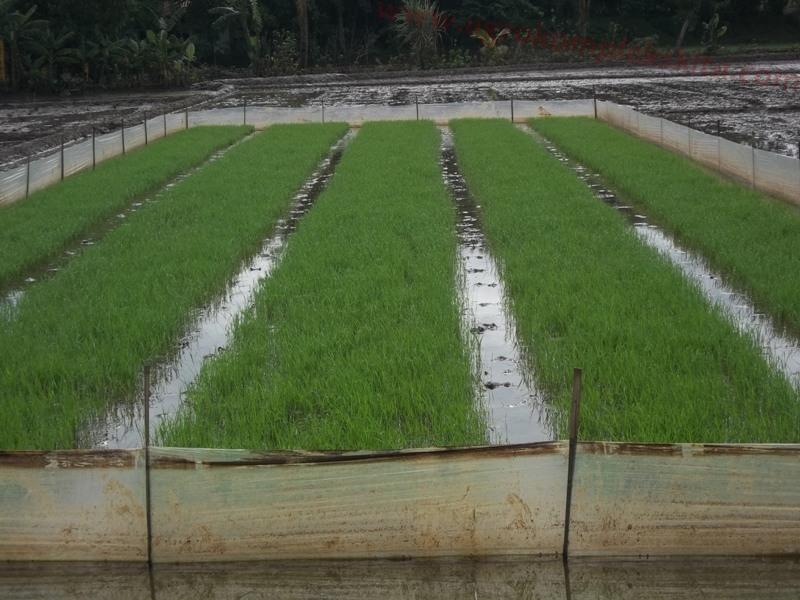 Model Pembenihan padi
