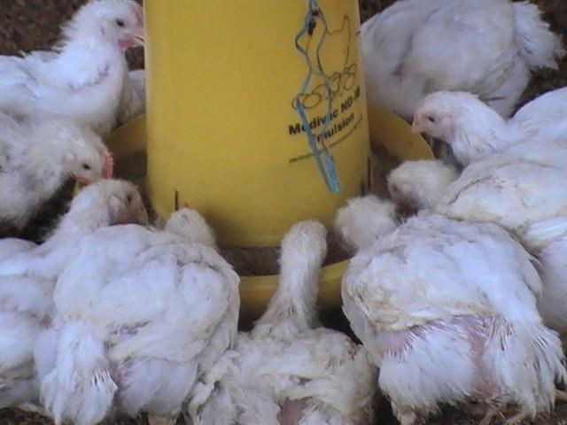 Ayam broiler dengan viitoterna, lahap makan, sehat dan bersih