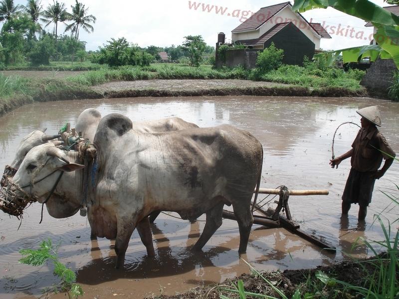 Membajak dengan sapi