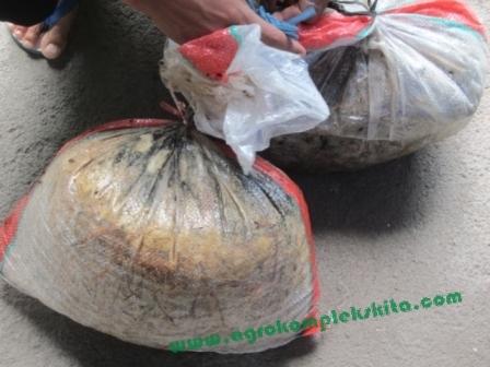 Semua bahan setelah dicampur ditutup rapat dalam karung, simpan sampai beberapa kurang lebih 1 minggu