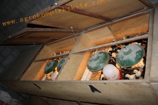 Box pembesaran untuk DOC Jawa Super - umur 1 hari sd 14 hari - 1 box sekitar 100 DOC