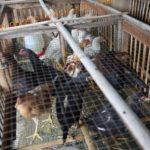 Teknik Budidaya Ayam Joper – Bag I – Teknik Kandang Model Sel