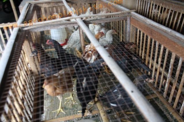 Ayam Jowo Super diletakkan dalam kandang sistem sel