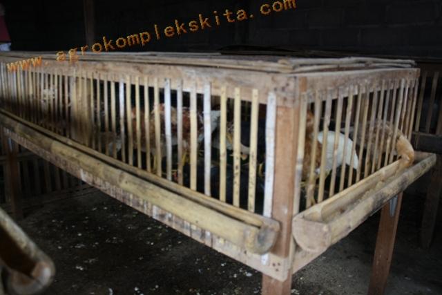 Ayam Jowo Super diletakkan dalam kandang sistem sel setelh umur 14 hari sampai dengan umur 60 hri