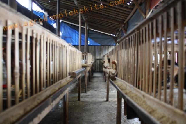 Ayam Jowo Super diletakkan dalam kandang sistem sel, 1 kandang sekitar 40 sd 50 ekor, total keseluruhan sekitar 700 ekor