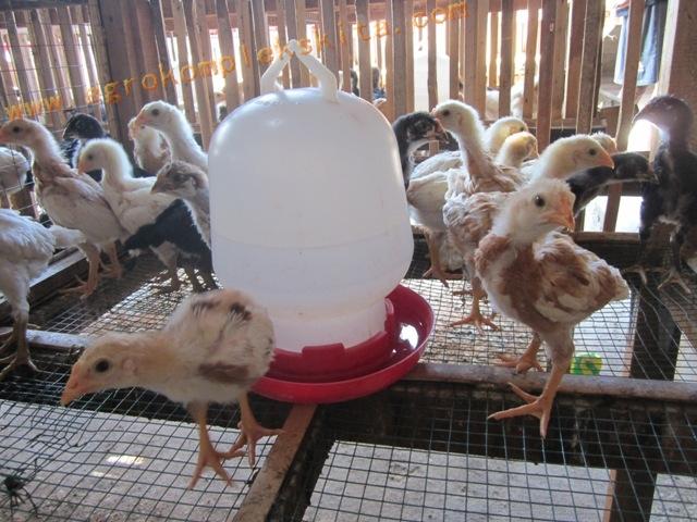Ayam jawa super - panen usia 60 Hari dengan pemberian vittoterna