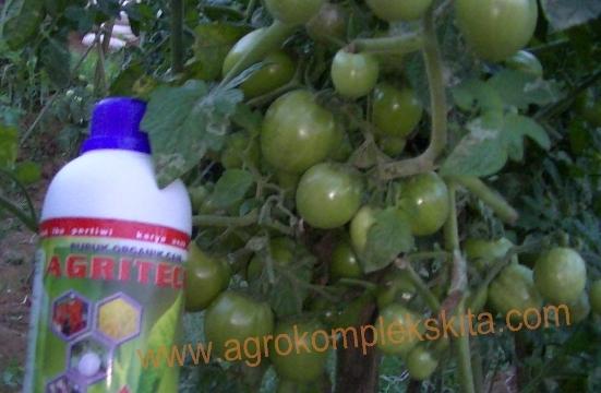 budidaya tomat hasil meningkat dengan pupuk organik MMC