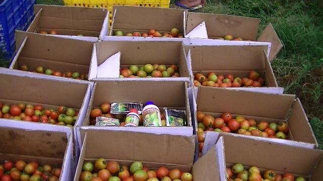 Panen tomat yang siap dikirim ke pasaran