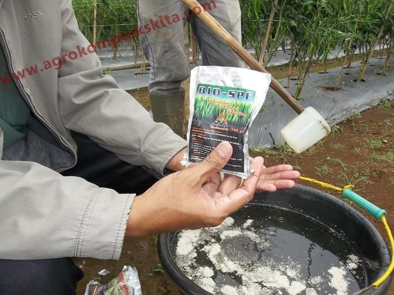 Aplikasi Penggunaan BIO SPF untuk mengendalikan penyakit antraknosa pada tanaman cabai
