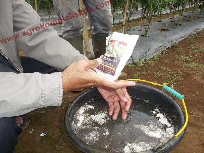 100_Aplikasi Superglio untuk pencegahan layu fusarium pada tanaman cabe; Superglio dicampur air secukupnya untuk mengocor lahan cabe. Superglio mengandung bahan aktif spora gliocladium sp dengan kadar tinggi, sehingga efektif memproteksi tanaman cabe.