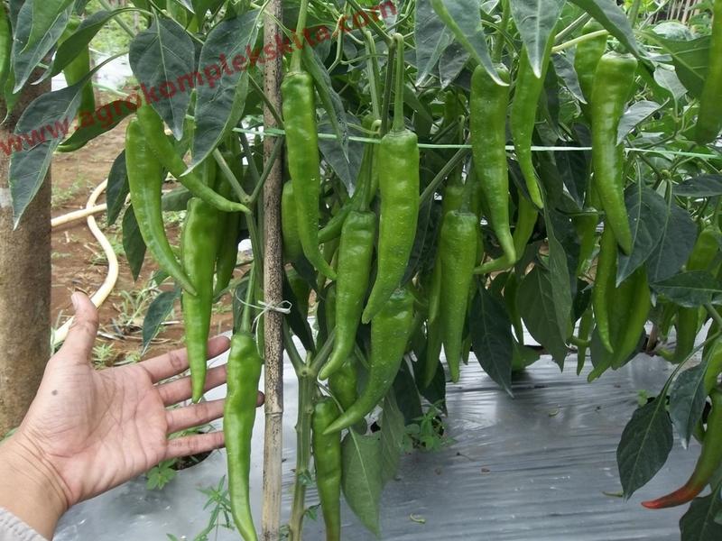 Budidaya cabai saat tanaman mulai berbuah