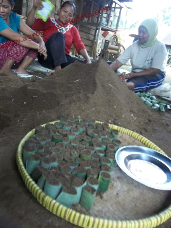 Conoh media penyemaian cabai dengan contong dari daun pisang