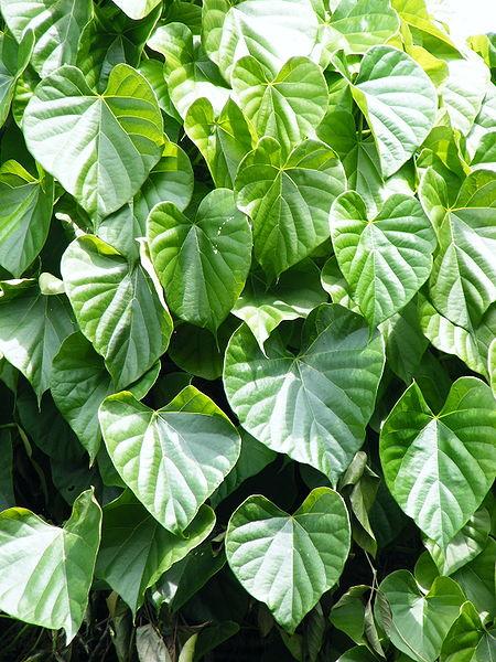 Brotowali - Tinospora cordifolia