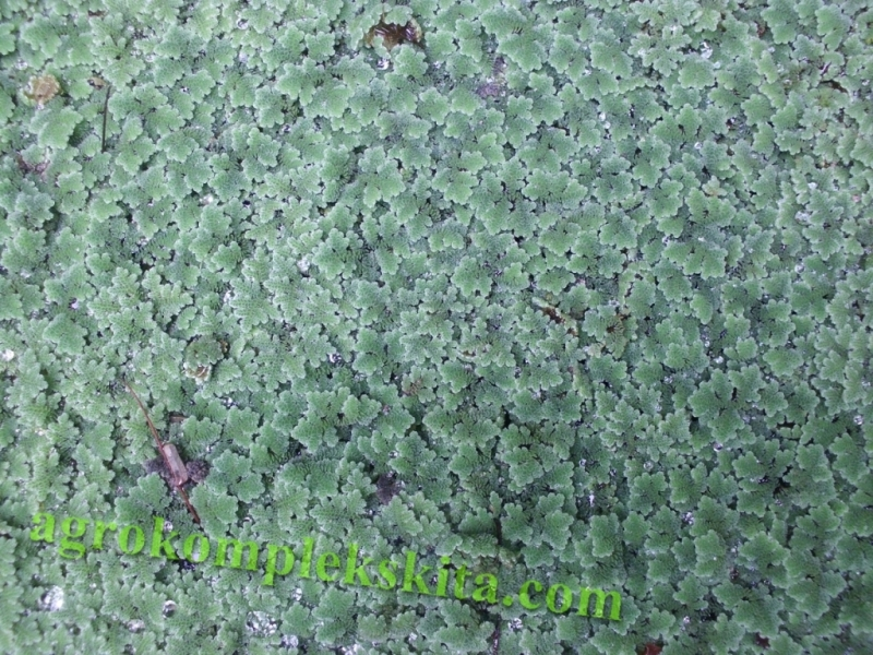 budidaya azolla jenis azolla microphylla dikembangkan untuk pakan alternatif bagi ternak
