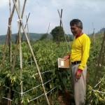 Dampingi petani Sukaresmi Cianjur, lahan cabe 30 Hektar biar jadi panen mujur