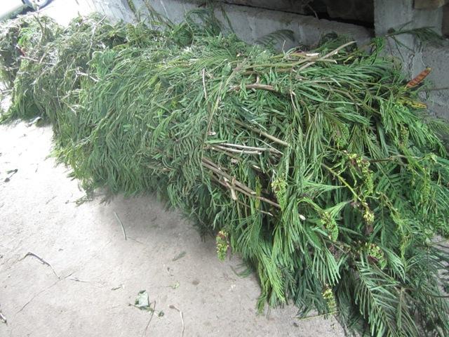 hijaun daun kaliandra