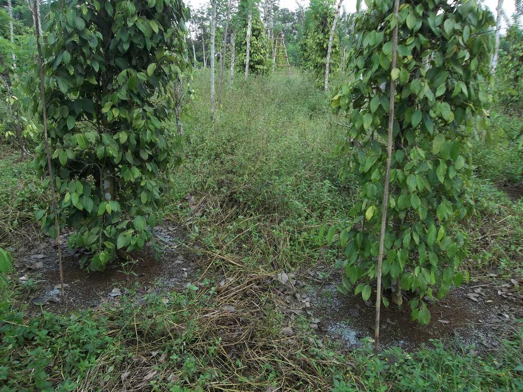Contoh penyiangan terbatas (sekitar tanaman lada)