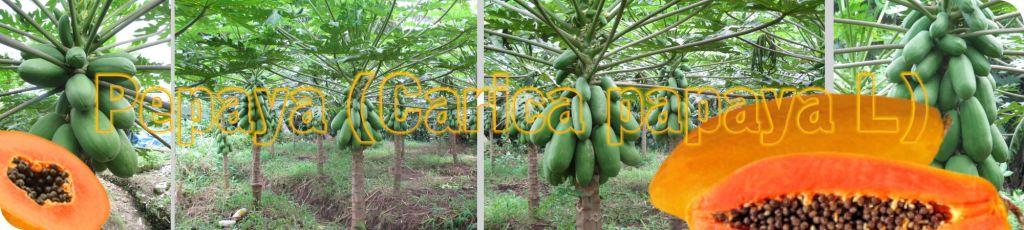 pepaya, kates, ketela pohon, budidaya, cara menanam, memaksimalkan rproduksi