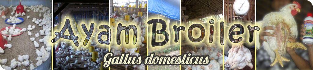 budidaya ayam broilerbudidaya ayam broiler, ayam potong, ternak ayam broiler, agribisnis ayam broiler