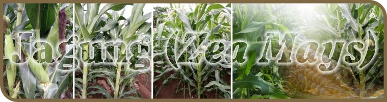 hama dan penyakit pada jagung