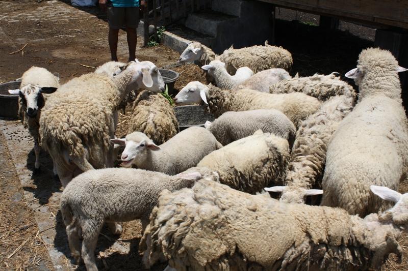 Budidaya kambing jenis domba excel milik Pak Toyo S Dipo - Kulonprogo