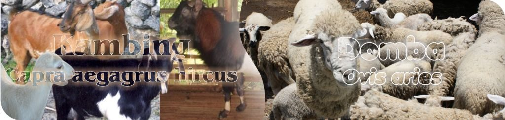 budidaya domba ternak kambing info ternak kambing cara budidaya kambing,