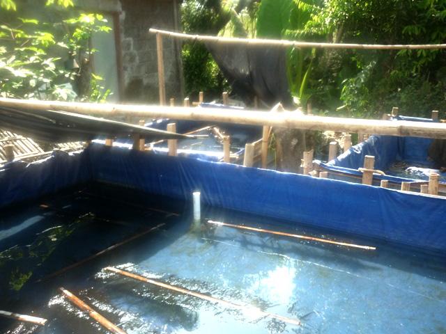 kolam terpal pemijahan lele dengan tempat telur-telur lele dari ijuk