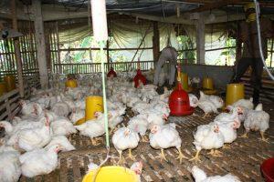 ayam broiler mitra mmc di wates - penggunaan vitto untuk ayam