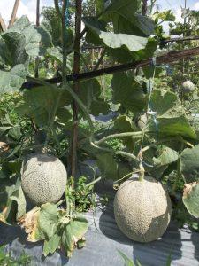 Budidaya melon hampir panen tetapi terkena penyakit antraknosa