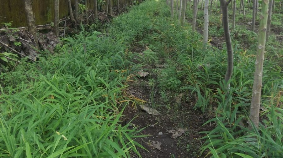 jahe merah tumpang sari dengan sengon, upaya memaksimalkan potensi lahan