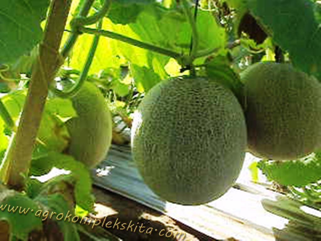 tanaman-melon-dengan-pupuk-organik-MMC-buah-sama-besar-daging-buah-tebal-dan-enak