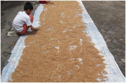 Panen Hanjeli, sebelum digiling (bisa dengan mesin giling padi) dijemur terlebih dahulu kira-kira 3 hari (sampai kering)