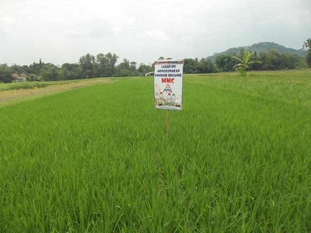 budidaya padi organik dengan pupuk mmc 100_2716