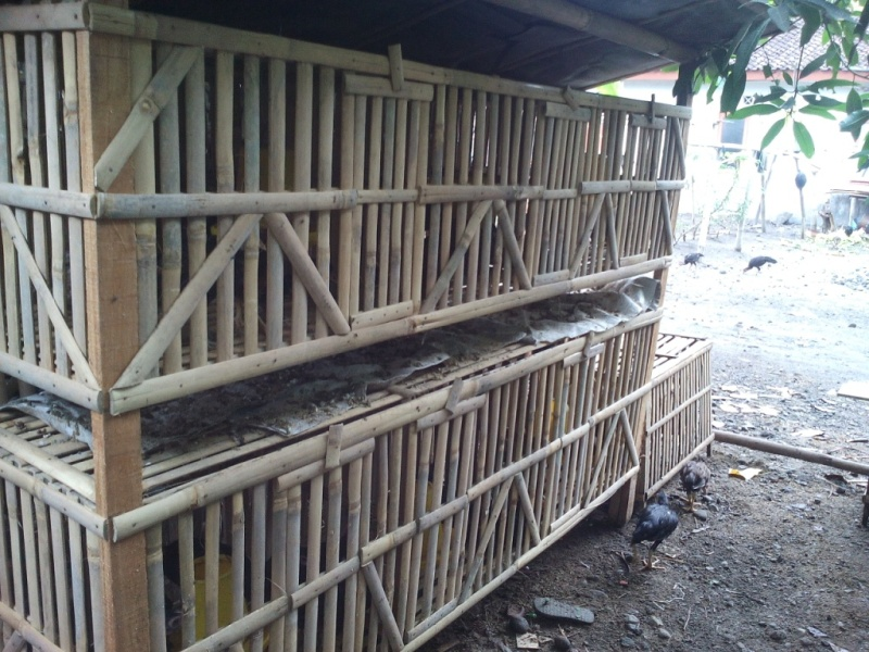 kandang ayam kampung model susun untuk ternak ayam kampung