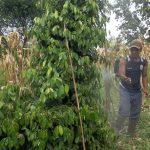 Aplikasi Pestisida Biologi / Agens Hayati Pada Tanaman Lada