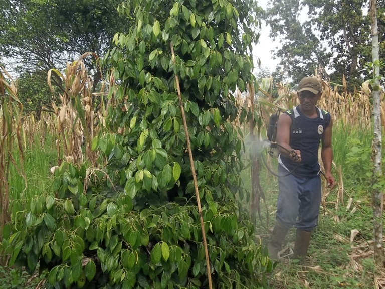 penyemprotan agens hayati / pestisida biologi TOP BN untuk mengendalian penggerek batang lada aman bagi manusia sehingga tidak perlu menggunakan masker