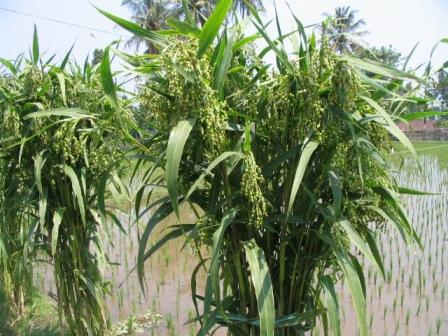 tanaman hanjeli