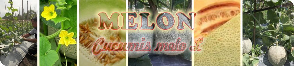 header budidaya melon