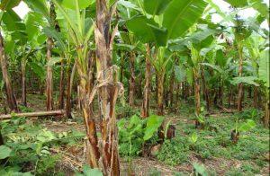 lahan budidaya pisang